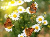 Farfalle su margherite — Foto Stock