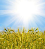Gold wheat and blue sky — Stock Photo