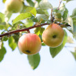 Stock Photo: Branch with apple