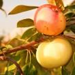 Branch with apple — Stock Photo