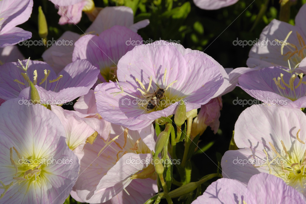 A wildflower that grows along the Texas roads called the Evening Primrose also known as the Oenothera speciosa — Stock Photo #1653703