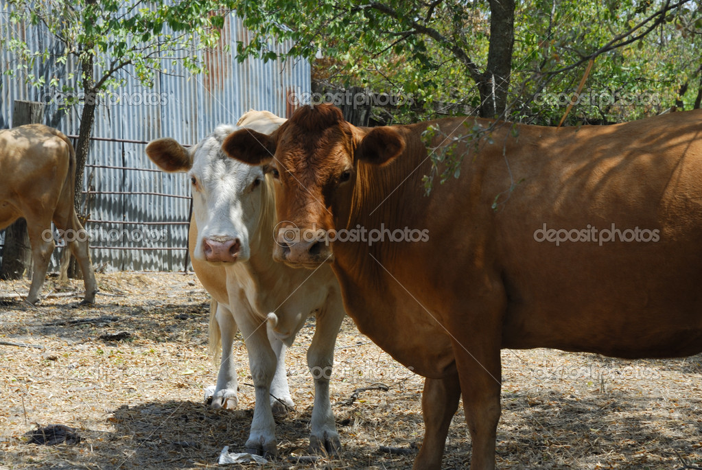 Two cows looking curiously — Stock Photo #1799246