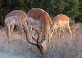 Impala: Aepyceros Melampus — Stock Photo
