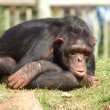 Royalty-Free Stock Photo: Chimpanzee
