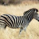 Burchell's Zebra in Africa — Stock Photo #1725240
