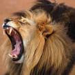 Royalty-Free Stock Photo: African Lion