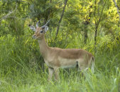 Impala (Aepyceros Melampus) in Africa — Stock Photo