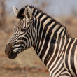 Zebra — Stock Photo #1743074