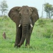 Wildlife: African Elephant — Stock Photo