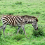 Burchell's Zebra in Africa — Stock Photo
