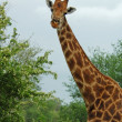 Stock Photo: Giraffe in Africa