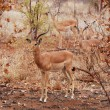 African Wildlife: Impala Antelope - Stock Photo