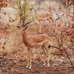 Постер, плакат: African Wildlife: Impala Antelope