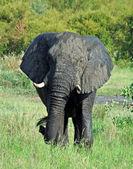 Wildlife: African Elephant — Stockfoto