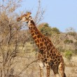Royalty-Free Stock Photo: Giraffe in Africa