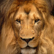 Stock Photo: AfricBarbary Lion