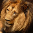 Stock Photo: Lion (Pantherleo)