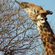 Stock Photo: Giraffe reaching high