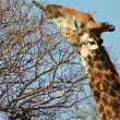 Giraffe reaching high — Stock Photo