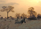 Sunset with Zebra in Africa — Stock Photo