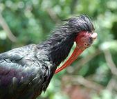 Southern Bald Ibis — Stock Photo