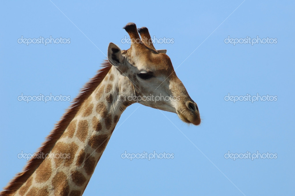 Giraffe in the bushveld of South Africa. — Stock Photo #1778551