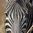 Royalty-Free Stock Photo: Burchell\'s Zebra