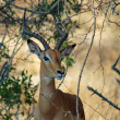 AfricWildlife: Impala — Stock Photo #1784732