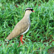 Crowned plover (Vanellus coronatus) — Stock Photo