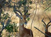 Afrika Wildlife: Impala — Stockfoto