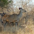 Kudu Antelope - Stock Photo