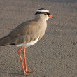 Crowned plover (Vanellus coronatus) - Stock Photo