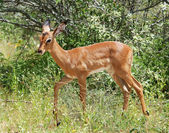 Africa wildlife: Impala — Foto Stock