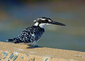 Pied Kingfisher — Stock Photo