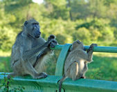 Africa Wildlife: Baboon — Stock Photo