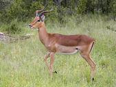 Impala — Zdjęcie stockowe