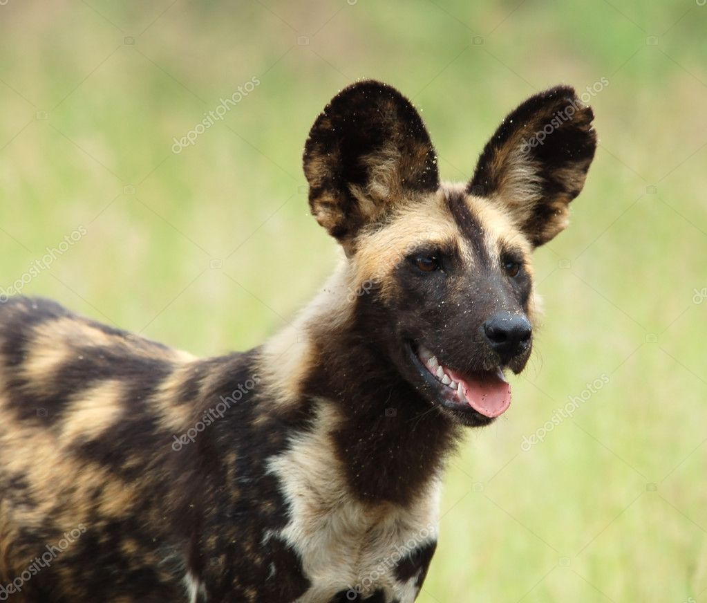 African Wild Dog, highly endangered species of Africa, photographed in the wild. — Stock Photo #1809630