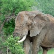 Wildlife: African Elephant - Foto Stock