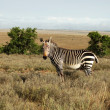 Cape Mountain Zebra (Equus zebra) - Foto Stock