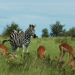 Zebra and Impala — Stock Photo
