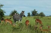 Zebra and Impala — Stock Photo
