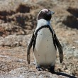 Stock Photo: Penguin, jackass