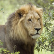 Lion (Panthera leo) — Stock Photo
