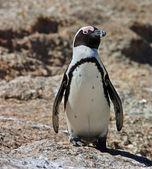 Penguin, jackass — Stock Photo