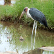 Marabou stork — Stock Photo #1893983