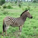 Burchell's Zebra in Africa — Stock Photo #1894446