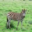 Burchell's Zebra in Africa — Stock Photo #1894472