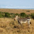 Cape Mountain Zebra (Equus zebra) — Stock Photo