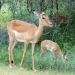 Impala Antelope - Stockfoto