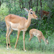 Impala Antelope — Stock Photo #1898811